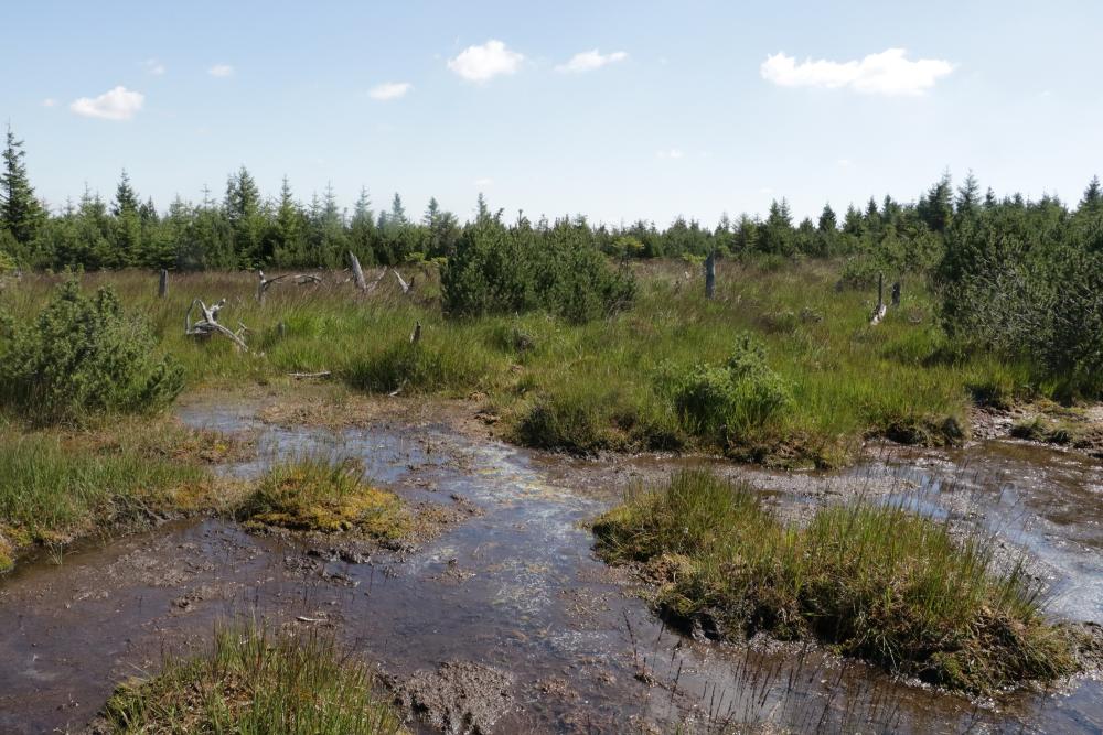 Mokřadní vegetace na svazích Pramenáče (projektové území). Místo pro revitalizacirašelinného ekosystému.
